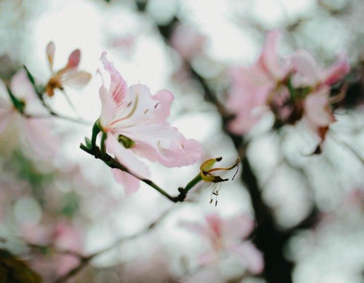 Những cánh hoa ban~